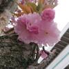 つつじ祭りの根津神社から花も団子ものポタリング