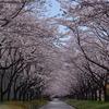 桜満開♪樹の下で.。.:*・