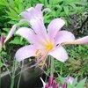 夏水仙(リコリス)の花など