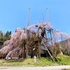 まだまだ見られる満開の桜