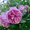 レイニーブルー開花