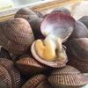岩手県 夏のプライドフィシュ「陸前高田のエゾイシカゲ貝」をご紹介!