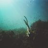 『めかぶ』はどんな海藻?