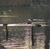 早朝探鳥、善福寺公園の野鳥3連発 と ジィちゃんと探鳥、石神井公園・武蔵関公園・小金井公園・野川公園の野鳥。