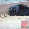 酔芙蓉と眠り猫