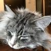 【実録】猫の急性膵炎!症状、治療法、費用などまとめ