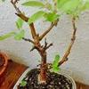 盆栽にも春、桜とヒメリンゴ