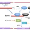 新型コロナウイルスのRNAがヒトのDNAに組み込まれる