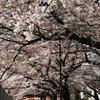 散り散り桜、最後の花見