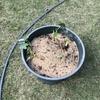 サトイモを定植しました