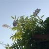藤の花が二度咲きしています