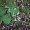 カシワバハグマ  花が独特
