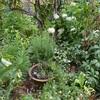 庭に溶け込むポタジェの魅力・・・その周りの'アナベル'など
