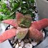 【ガステリア】舌みたいな多肉植物