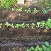【家庭菜園】小松菜、チンゲンサイ、引き続き、収穫
