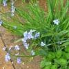 雨の中の花たち・・・ツユクサアヤメ、アンクルウォーター、アンジェラ