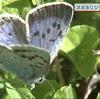 瑠璃色のチョウ 初夏彩る 阿蘇