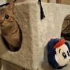 猫ブログ_ドアラVSオシキャット #オシキャット