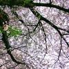 野鳥と桜吹雪