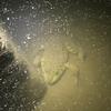 水中で息をひそめるウシガエル 3月