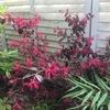 【お庭に黒のアクセント】トキワマンサク黒美人の成長と開花