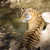 インドのトラ