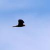渡良瀬遊水地を舞う葭原の鷹チュウヒ