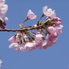 今年の桜 その1(竜田古道の里山公園)