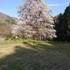 秋山の駒ザクラ(福島県・川俣町)~東北・夢の桜街道19番礼所~