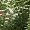 今年も白い庭・・・オルレア