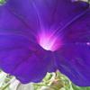 8 月 1日誕生日の花と花言葉