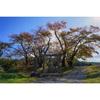 【柿の実と田んぼ,吾妻連峰そして青空】秋の福島・田園風景の中を歩く
