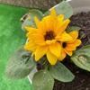 【家庭菜園】脇芽を植え替え。