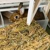 ウサギのちまき今日の1枚『ちまき一瞬浮いた?』(動画)