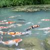 あじさいの山寺・三光寺の『マネの池』