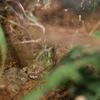 チャコガエル Chacophrys pierottii