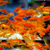 金魚 小赤 エサ用金魚 餌金 50匹 エサ 餌 きんぎょ キンギョ 生体 【2点以上7000円以上ご購入で送料無料】