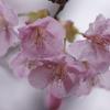 SONY α900を連れ、河津桜を見てきた。2012年3月