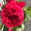 バラ開花っ!2018年5月1週の我が家の花々