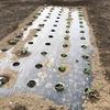 【菜園】空芯菜、オクラが発芽しました