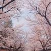 秀吉が愛した醍醐の花見で有名な京都「醍醐寺の桜」