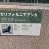 上野動物園のカリフォルニアアシカ