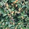 秋の匂い☆金木犀のオレンジシロップ①