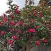 椿の花:キャンプ場海側入り口(山口県萩市)