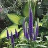 お庭の片隅に青い灯(ともしび)! ベロニカ・ロイヤルキャンドル