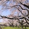 【東京・桜名所】犬連れお花見なら「小金井公園」1771本52種もの桜がゆったりと楽しめる!
