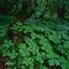 櫛形山 #3 ヤグルマソウ群落を観る
