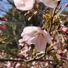 【自宅でお花見】桜をテーマに1分の簡単ムービーを作ってみた