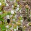 ブルーベリー→マルハナバチとシュート 昼休み、ラクウショウの新芽