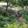 約70種2万株のあじさいが楽しめる!射水市「太閤山ランド」